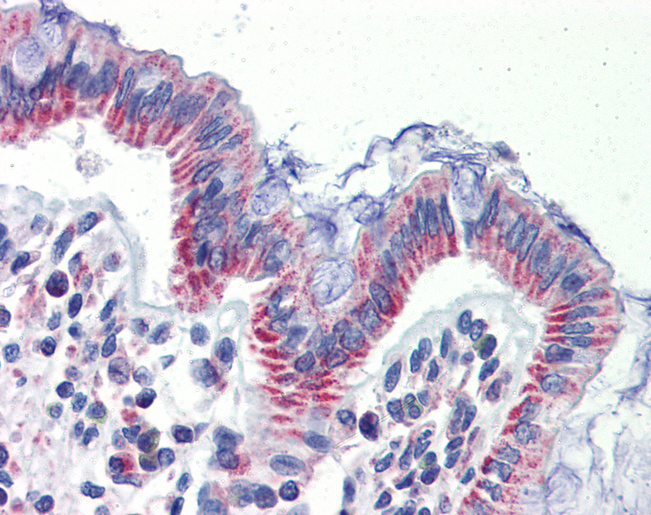 Anti-IMPDH1 antibody IHC of human colon. Immunohistochemistry of formalin-fixed, paraffin-embedded tissue after heat-induced antigen retrieval. Antibody concentration 5 ug/ml.  This image was taken for the unconjugated form of this product. Other forms have not been tested.