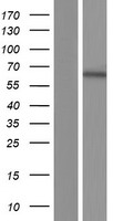 IMPDH1 Protein - Western validation with an anti-DDK antibody * L: Control HEK293 lysate R: Over-expression lysate