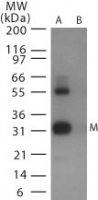 Western blot of avian flu matrix protein 1in (A) recombinant fusion protein containing amino acids9-28 and (B) fusion partner without these amino acids, using antibody at 0.5 ug/ml.