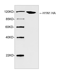 Western blot analysis of H1N1 HA recombinant protein using Rabbit Anti-H1N1 HA Polyclonal Antibody The signal was developed with IRDye TM 800 Conjugated Goat Anti-Rabbit IgG.Predicted Size: 115 KDObserved Size: 115 KD