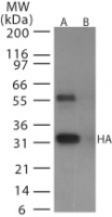 Western blot of avian flu HA in (A) recombinant fusion protein containing amino acids128-143 and (B) fusion partner without these amino acids, using antibody at 0.5 ug/ml.