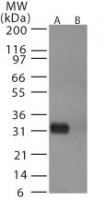Western blot of avian flu HA in (A) recombinant fusion protein containing amino acids72-88 and (B) fusion partner without these amino acids, using antibody at 0.5 ug/ml.