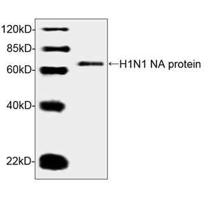 Western blot analysis of H1N1 NA recombinant protein using H1N1 NA Antibody (5A4D11), mAb, Mouse The signal was developed with IRDye TM 800 Conjugated affinity Purified Goat Anti-Mouse IgG Predicted Size: 65 kD Observed Size: 65 kD