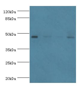 Western blot. All lanes: Inhibin beta A chain antibody at 2 ug/ml. Lane 1: HeLa whole cell lysate Lane 2: HepG2 whole cell lysate Lane 3: A549 whole cell lysate Lane 4: MCF-7 whole cell lysate. Secondary antibody: goat polyclonal to rabbit at 1:10000 dilution.  This image was taken for the unconjugated form of this product. Other forms have not been tested.