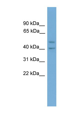 INHBA antibody western blot of Human muscle lysate.  This image was taken for the unconjugated form of this product. Other forms have not been tested.