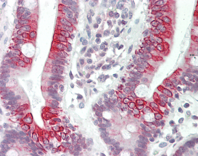 Human Small Intestine: Formalin-Fixed, Paraffin-Embedded (FFPE).  This image was taken for the unconjugated form of this product. Other forms have not been tested.