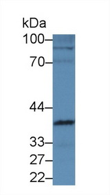 Western Blot; Sample: Mouse Heart lysate; Primary Ab: 5µg/ml Rabbit Anti-Mouse INHbE Antibody Second Ab: 0.2µg/mL HRP-Linked Caprine Anti-Rabbit IgG Polyclonal Antibody