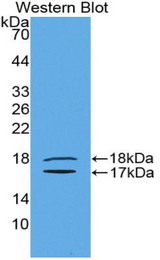 Western blot of recombinant INHBE / Activin.  This image was taken for the unconjugated form of this product. Other forms have not been tested.