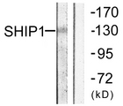 Western blot analysis of lysates from mouse brain, using SHIP1 Antibody. The lane on the right is blocked with the synthesized peptide.