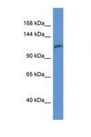 INPP5D / SHIP1 / SHIP Antibody - INPP5D / SHIP antibody Western blot of 1 Cell lysate. Antibody concentration 1 ug/ml.  This image was taken for the unconjugated form of this product. Other forms have not been tested.