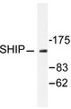 Western blot of SHIP1 (P1167) pAb in extracts from HUVEC cells.