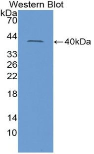 Western blot of recombinant INSL3.
