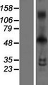 INSM1 Protein - Western validation with an anti-DDK antibody * L: Control HEK293 lysate R: Over-expression lysate