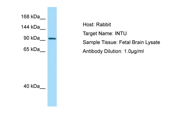 INTU Antibody -  This image was taken for the unconjugated form of this product. Other forms have not been tested.