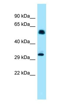 IP6K1 antibody Western Blot of Mouse Heart.  This image was taken for the unconjugated form of this product. Other forms have not been tested.