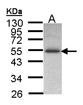 Sample (30 ug of whole cell lysate). A: H1299. 10% SDS PAGE. IP6K2 antibody diluted at 1:1000.