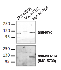Polyclonal Antibody to Ipaf/Clan/CARD12/NLRC4 specifically recognizes NLRCR4, but not closely related NLR family members NOD1 and NOD2. HEK293T cells transiently transfected with with human NOD1, NOD or NLRC4 c-myc plasmids were IPd with a c-myc antibody followed by western blot with the Polyclonal Antibody to Ipaf/Clan/CARD12/NLRC4 NLRC4 antibody. Data courtesy of Dr Rol and Wagner, Sanford-Burnham Medical Institute.