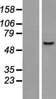 IQCC Protein - Western validation with an anti-DDK antibody * L: Control HEK293 lysate R: Over-expression lysate