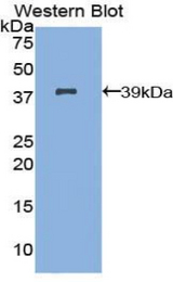 Western blot of recombinant IRF1 / IRF-1 /MAR.  This image was taken for the unconjugated form of this product. Other forms have not been tested.