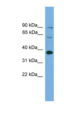 IRF1 antibody Western blot of Mouse Uterus lysate. This image was taken for the unconjugated form of this product. Other forms have not been tested.