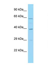 IRF1 antibody Western blot of HeLa Cell lysate. Antibody concentration 1 ug/ml.  This image was taken for the unconjugated form of this product. Other forms have not been tested.