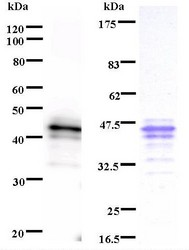 Western blot of immunized recombinant protein using IRF1 antibody. Left: IRF1 staining. Right: Coomassie Blue staining of immunized recombinant protein.
