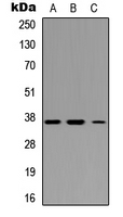 Western blot analysis of IRF1 expression in HEK293T (A); Raw264.7 (B); H9C2 (C) whole cell lysates.