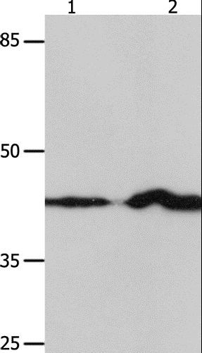 Western blot analysis of NIH/3T3 and Jurkat cell, using IRF1 Polyclonal Antibody at dilution of 1:750.