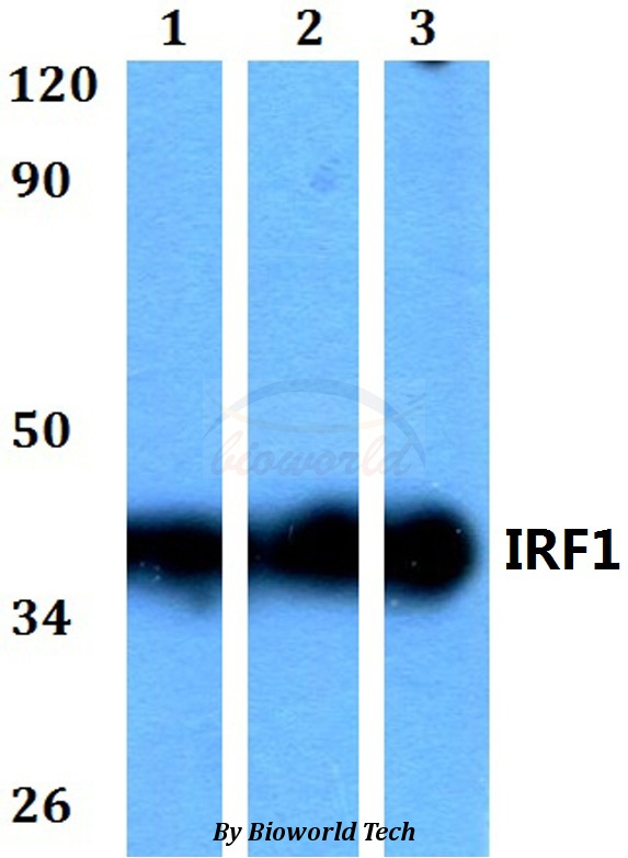 Western blot of IRF1 antibody at 1:500 dilution. Lane 1: HEK293T whole cell lysate. Lane 2: Raw264.7 whole cell lysate. Lane 3: H9C2 whole cell lysate.