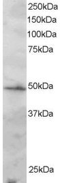 Antibody staining (2 ug/ml) of Jurkat lysate (RIPA buffer, 30 ug total protein per lane). Primary incubated for 1 hour. Detected by Western blot of chemiluminescence.