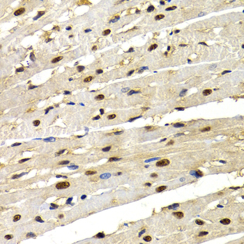 Immunohistochemistry of paraffin-embedded rat heart.