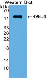 Western blot of recombinant IRF3 / IRF-3.