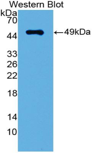 IRF3 Antibody - Western blot of recombinant IRF3 / IRF-3.