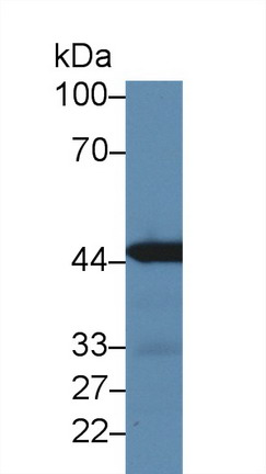 Western Blot; Sample: Mouse Kidney lysate; Primary Ab: 3µg/ml Rabbit Anti-Mouse IRF3 Antibody Second Ab: 0.2µg/mL HRP-Linked Caprine Anti-Rabbit IgG Polyclonal Antibody