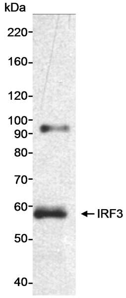 Detection of Human IRF3 by Western Blot. Sample: Nuclear extract (25 ug) from HeLa cells. Antibody: Affinity purified rabbit anti-IRF3 antibody used at 0.33 ug/ml. Detection: Chemiluminescence with an exposure time of 5 minutes.