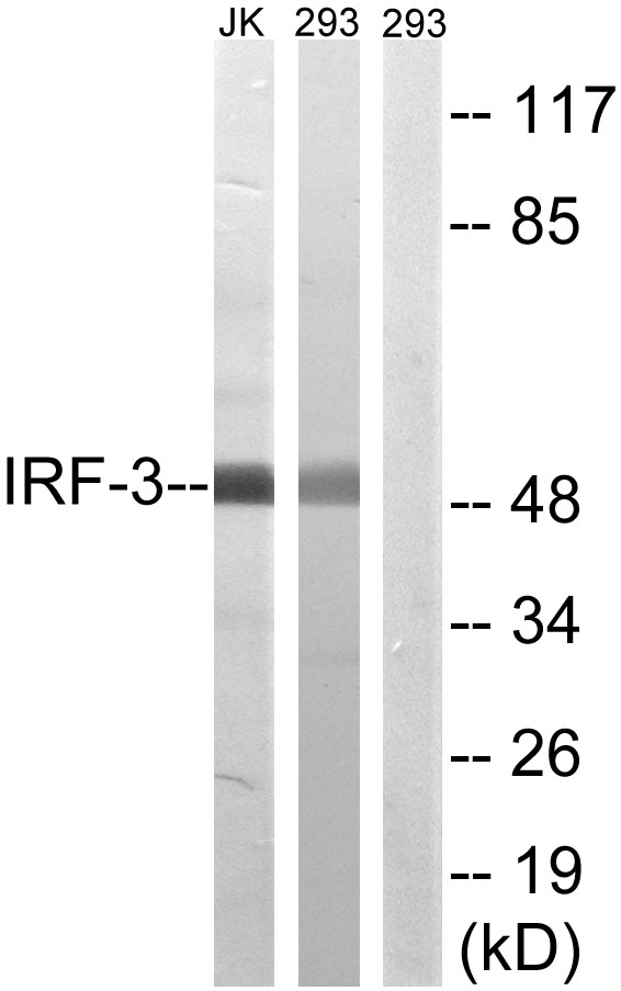 Western blot analysis of lysates from 293 and Jurkat cells, using IRF-3 Antibody. The lane on the right is blocked with the synthesized peptide.
