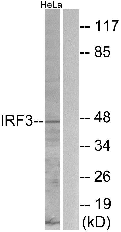 Western blot analysis of lysates from HeLa cells, using IRF3 Antibody. The lane on the right is blocked with the synthesized peptide.