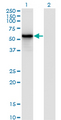 Western Blot analysis of IRF3 expression in transfected 293T cell line by IRF3 monoclonal antibody (M10), clone 3C8.Lane 1: IRF3 transfected lysate(47.2 KDa).Lane 2: Non-transfected lysate.