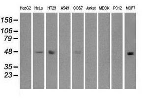 Western blot analysis of extracts (35ug) from 9 different cell lines by using anti-anti-IRF3monoclonal antibody.