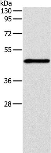 Western blot analysis of Jurkat cell, using IRF3 Polyclonal Antibody at dilution of 1:260.