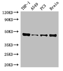 Positive WB detected in:THP-1 whole cell lysate,A549 whole cell lysate,PC3 whole cell lysate,Mouse brain tissue;All lanes:IRF3 antibody at 5ug/ml;Secondary;Goat polyclonal to rabbit IgG at 1/50000 dilution;Predicted band size: 48,34,17,50,13 kDa;Observed band size: 48 kDa;