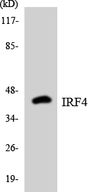Western blot analysis of the lysates from HT-29 cells using IRF4 antibody.