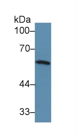 Western Blot; Sample: Mouse Spleen lysate; Primary Ab: 3µg/ml Rabbit Anti-Mouse IRF5 Antibody Second Ab: 0.2µg/mL HRP-Linked Caprine Anti-Rabbit IgG Polyclonal Antibody