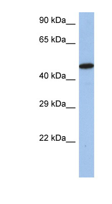 IRF5 antibody Western blot of SH-SYSY lysate. This image was taken for the unconjugated form of this product. Other forms have not been tested.