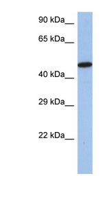IRF5 antibody LS-C109630 Western blot of SH-SYSY lysate.  This image was taken for the unconjugated form of this product. Other forms have not been tested.