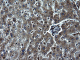 IHC of paraffin-embedded Human liver tissue using anti-IRF5 mouse monoclonal antibody. (Heat-induced epitope retrieval by 1 mM EDTA in 10mM Tris, pH8.5, 120°C for 3min).