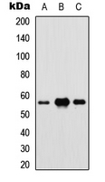 Western blot analysis of IRF5 expression in HEK293T (A); Raw264.7 (B); PC12 (C) whole cell lysates.