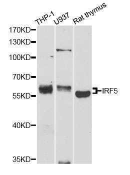 Western blot analysis of extracts of various cell lines, using IRF5 antibody at 1:1000 dilution. The secondary antibody used was an HRP Goat Anti-Rabbit IgG (H+L) at 1:10000 dilution. Lysates were loaded 25ug per lane and 3% nonfat dry milk in TBST was used for blocking. An ECL Kit was used for detection and the exposure time was 90s.