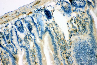 IRS1 antibody IHC-paraffin: Mouse Intestine Tissue.