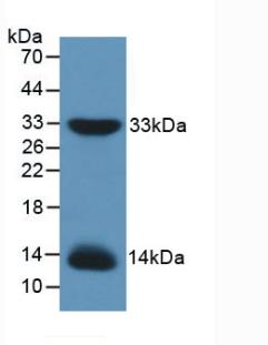 Western Blot; Sample: Recombinant IRS1, Mouse.